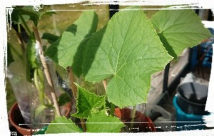 ASKIS_gurkor-frodas-i-växthuset
